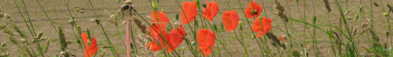 poppies-457