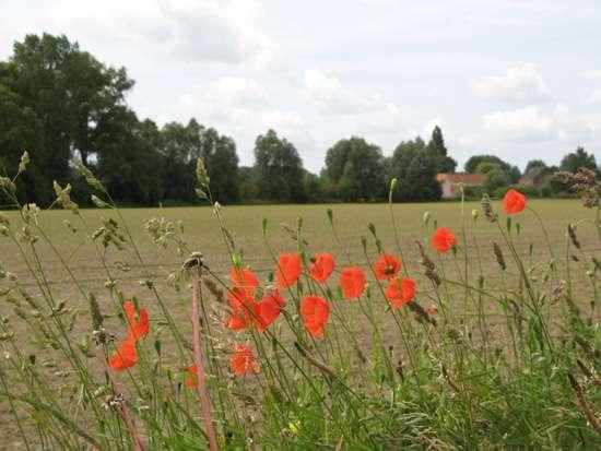 poppies-10682